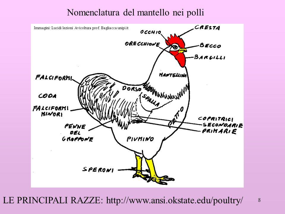 8 Nomenclatura del mantello nei polli LE PRINCIPALI RAZZE: http://www.ansi.okstate.edu/poultry/ Immagini: Lucidi lezioni Avicoltura prof.