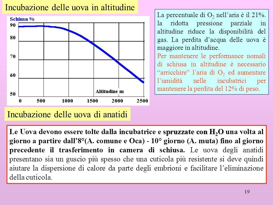 19 Incubazione delle uova in altitudine La percentuale di O 2 nellaria è il 21%. la ridotta pressione parziale in altitudine riduce la disponibilità d