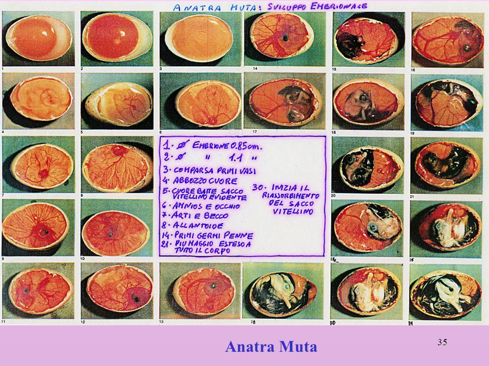 35 Anatra Muta