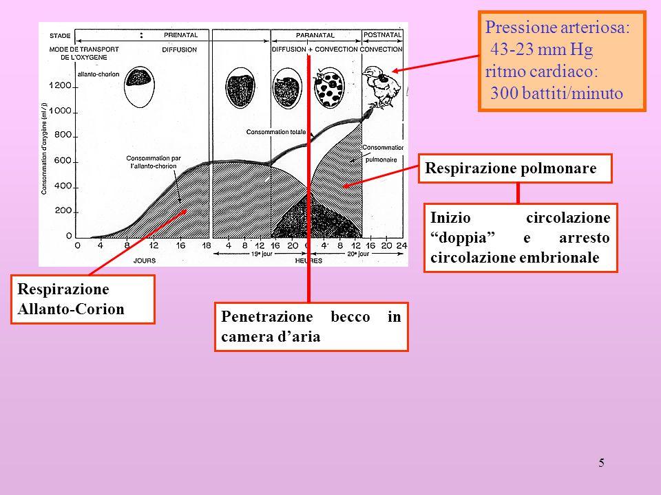 5 Respirazione Allanto-Corion Respirazione polmonare Penetrazione becco in camera daria Inizio circolazione doppia e arresto circolazione embrionale Pressione arteriosa: 43-23 mm Hg ritmo cardiaco: 300 battiti/minuto