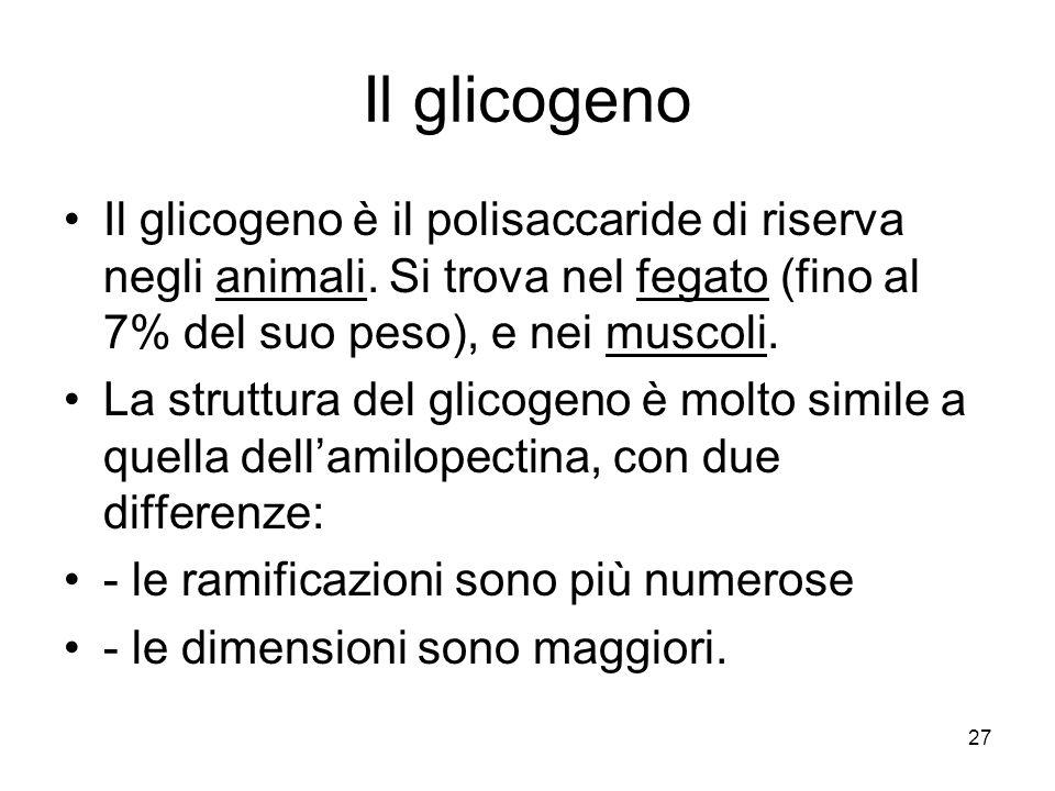27 Il glicogeno Il glicogeno è il polisaccaride di riserva negli animali. Si trova nel fegato (fino al 7% del suo peso), e nei muscoli. La struttura d