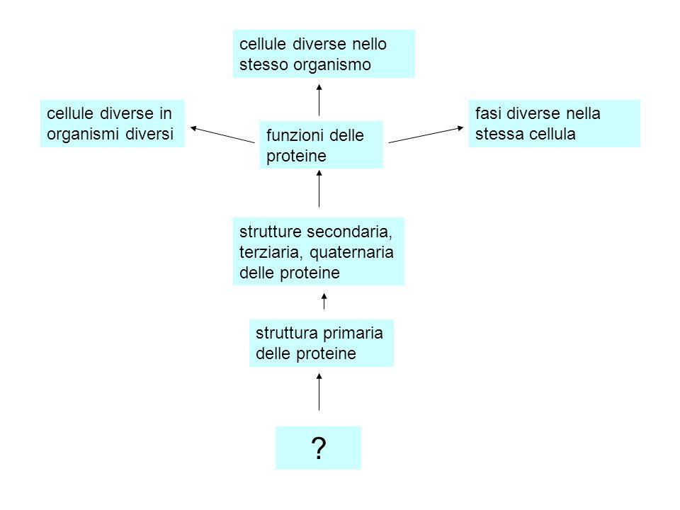 cellule diverse in organismi diversi cellule diverse nello stesso organismo fasi diverse nella stessa cellula funzioni delle proteine strutture second