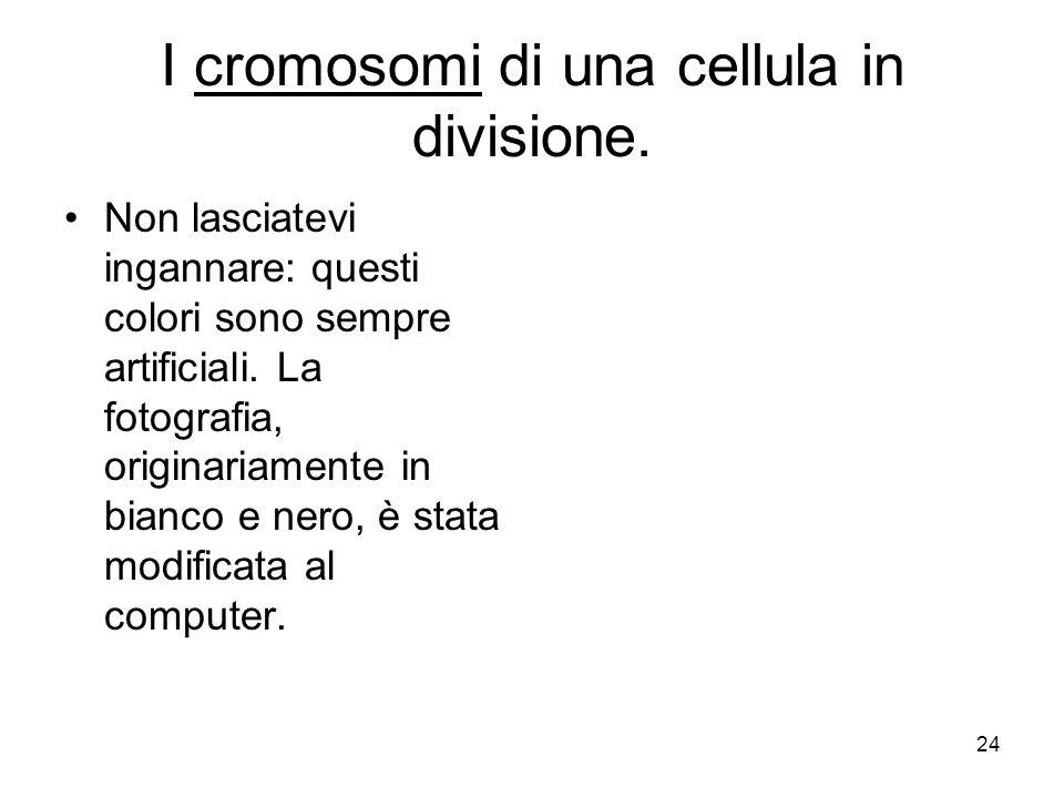 24 I cromosomi di una cellula in divisione. Non lasciatevi ingannare: questi colori sono sempre artificiali. La fotografia, originariamente in bianco