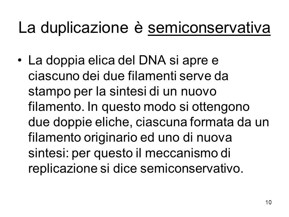 10 La duplicazione è semiconservativa La doppia elica del DNA si apre e ciascuno dei due filamenti serve da stampo per la sintesi di un nuovo filamento.