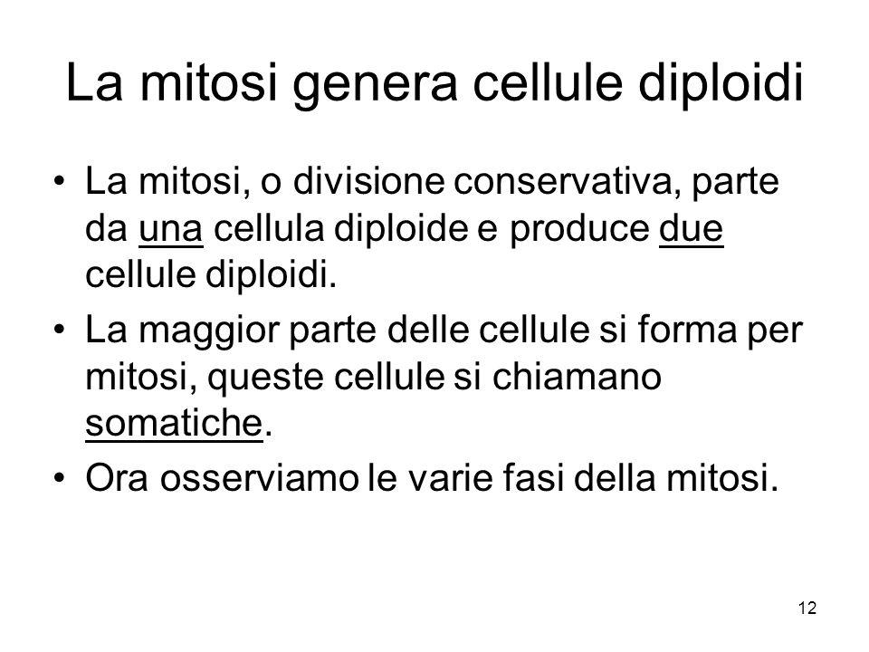 12 La mitosi genera cellule diploidi La mitosi, o divisione conservativa, parte da una cellula diploide e produce due cellule diploidi. La maggior par