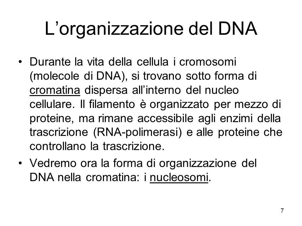 7 Lorganizzazione del DNA Durante la vita della cellula i cromosomi (molecole di DNA), si trovano sotto forma di cromatina dispersa allinterno del nucleo cellulare.