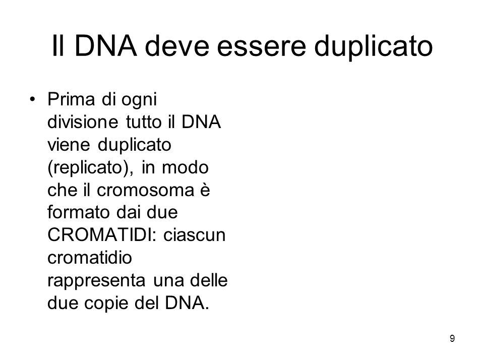 9 Il DNA deve essere duplicato Prima di ogni divisione tutto il DNA viene duplicato (replicato), in modo che il cromosoma è formato dai due CROMATIDI: ciascun cromatidio rappresenta una delle due copie del DNA.