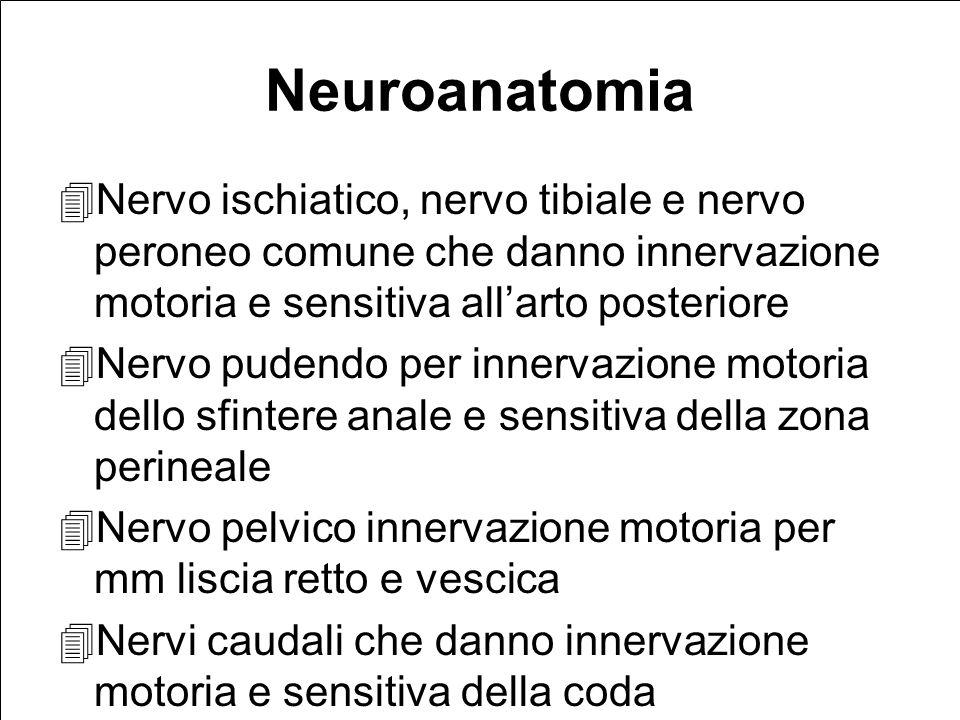Neuroanatomia Nervo ischiatico, nervo tibiale e nervo peroneo comune che danno innervazione motoria e sensitiva allarto posteriore Nervo pudendo per innervazione motoria dello sfintere anale e sensitiva della zona perineale Nervo pelvico innervazione motoria per mm liscia retto e vescica Nervi caudali che danno innervazione motoria e sensitiva della coda