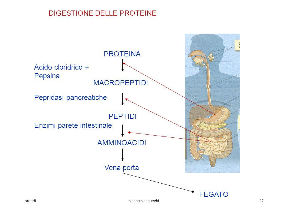 protidivanna vannucchi12 DIGESTIONE DELLE PROTEINE PROTEINA MACROPEPTIDI PEPTIDI AMMINOACIDI Vena porta Acido cloridrico + Pepsina Pepridasi pancreati