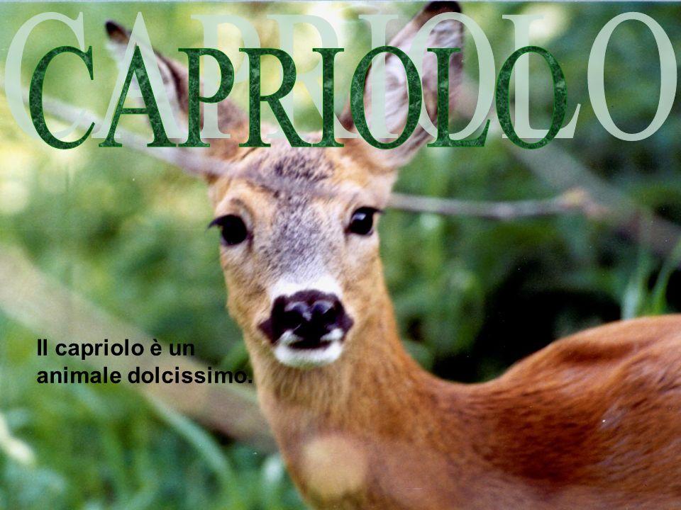 Il capriolo è un animale dolcissimo.