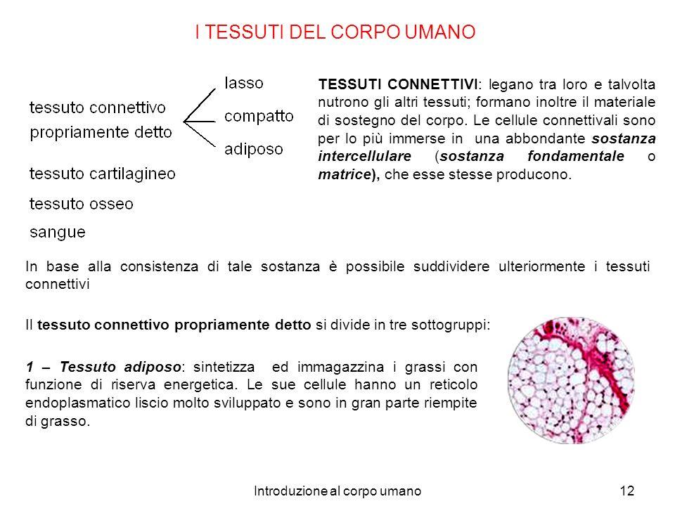 Introduzione al corpo umano12 I TESSUTI DEL CORPO UMANO TESSUTI CONNETTIVI: legano tra loro e talvolta nutrono gli altri tessuti; formano inoltre il m