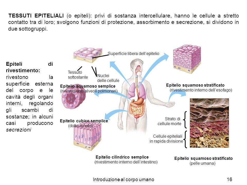 Introduzione al corpo umano16 Superficie libera dellepitelio Nuclei delle cellule Epitelio squamoso semplice (rivestimento alveoli polmonari) Epitelio