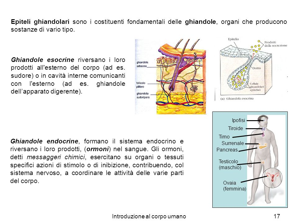 Introduzione al corpo umano17 Epiteli ghiandolari sono i costituenti fondamentali delle ghiandole, organi che producono sostanze di vario tipo. Ghiand