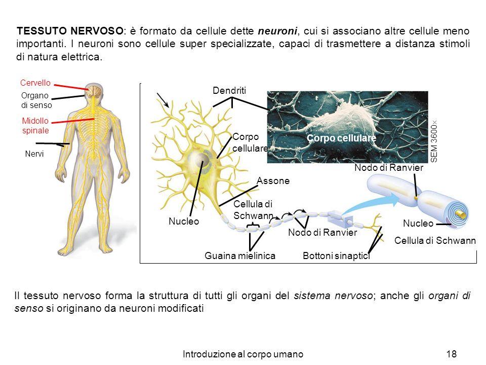 Introduzione al corpo umano18 TESSUTO NERVOSO: è formato da cellule dette neuroni, cui si associano altre cellule meno importanti. I neuroni sono cell