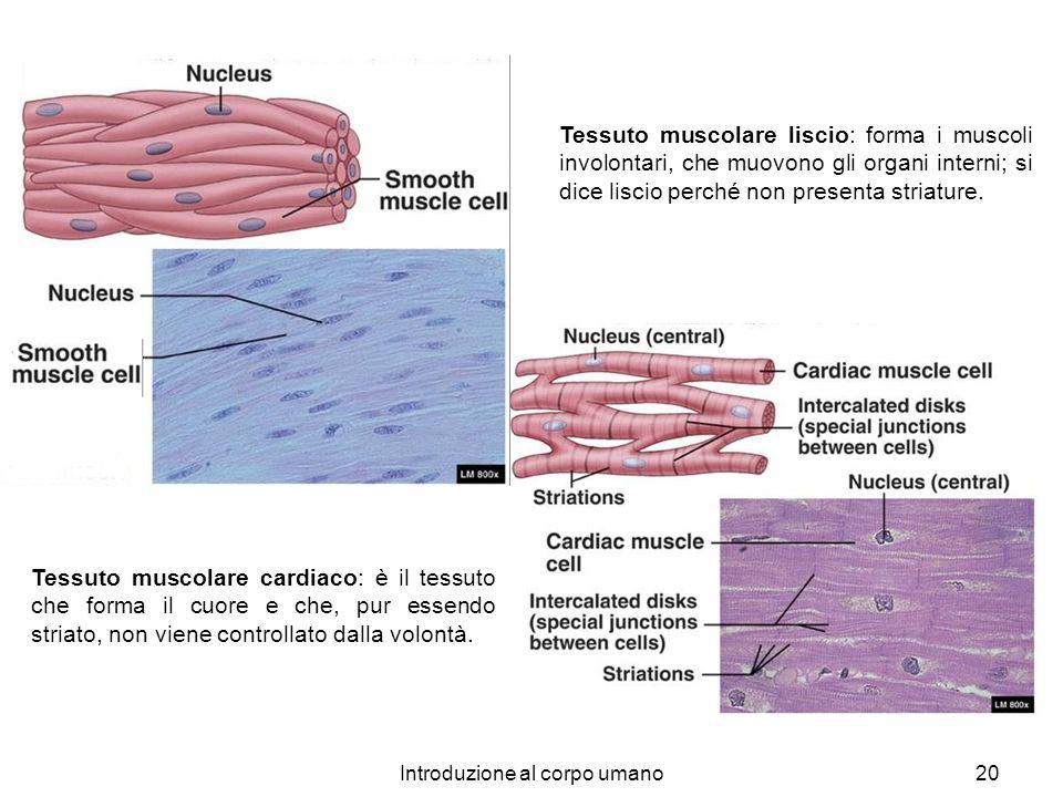 Introduzione al corpo umano20 Tessuto muscolare liscio: forma i muscoli involontari, che muovono gli organi interni; si dice liscio perché non present