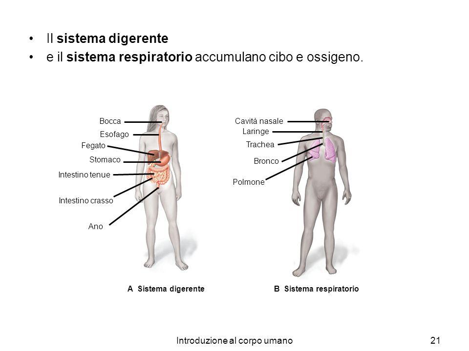 Introduzione al corpo umano21 A Sistema digerente Bocca Esofago Fegato Stomaco Intestino tenue Intestino crasso Ano B Sistema respiratorio Cavità nasa