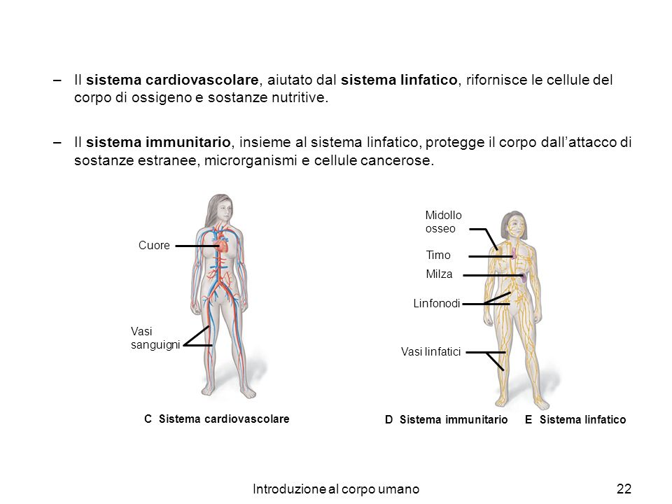 Introduzione al corpo umano22 –Il sistema cardiovascolare, aiutato dal sistema linfatico, rifornisce le cellule del corpo di ossigeno e sostanze nutri
