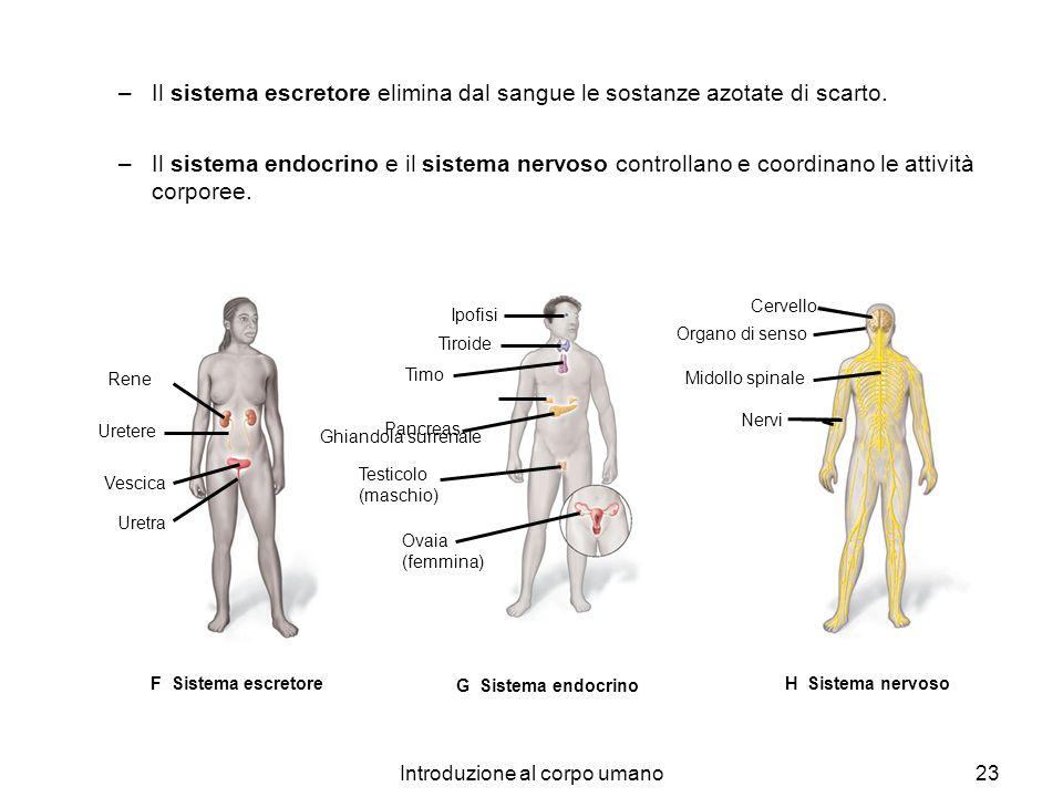 Introduzione al corpo umano23 –Il sistema escretore elimina dal sangue le sostanze azotate di scarto. –Il sistema endocrino e il sistema nervoso contr
