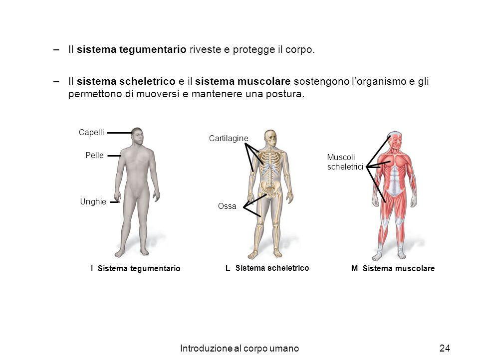 Introduzione al corpo umano24 –Il sistema tegumentario riveste e protegge il corpo. –Il sistema scheletrico e il sistema muscolare sostengono lorganis