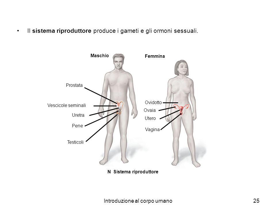 Introduzione al corpo umano25 Femmina Vescicole seminali Pene Uretra Testicoli Prostata Maschio Ovidotto Ovaia Utero Vagina N Sistema riproduttore Il
