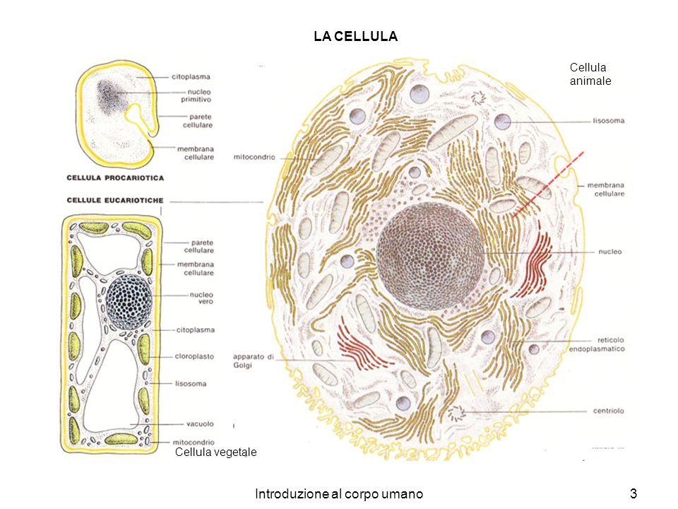 Introduzione al corpo umano3 Cellula animale Cellula vegetale LA CELLULA