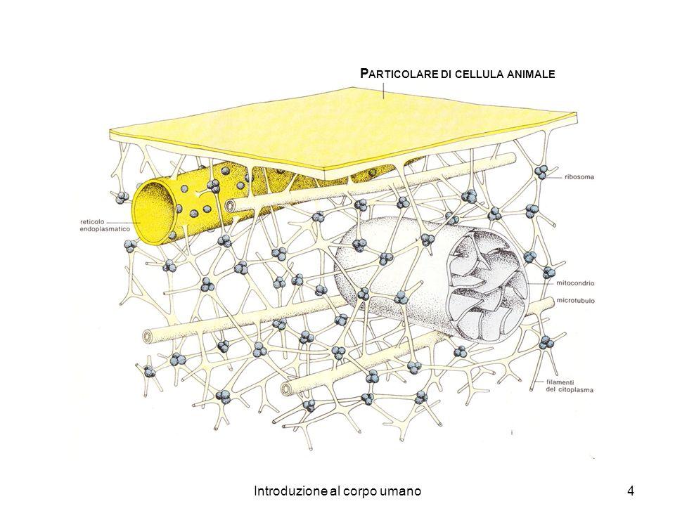 Introduzione al corpo umano4 P ARTICOLARE DI CELLULA ANIMALE
