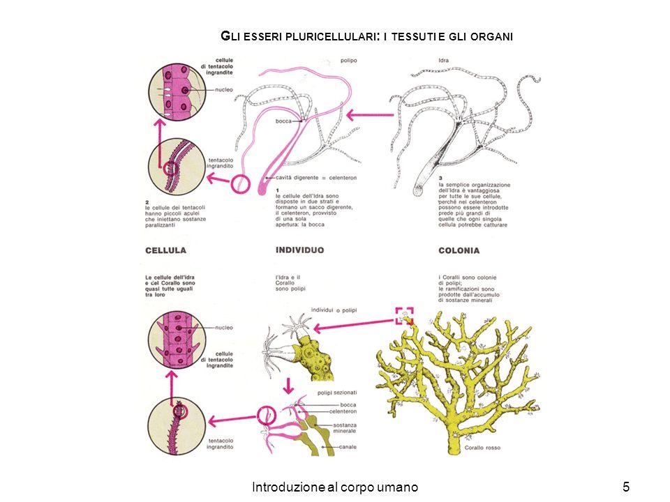 Introduzione al corpo umano5 G LI ESSERI PLURICELLULARI : I TESSUTI E GLI ORGANI