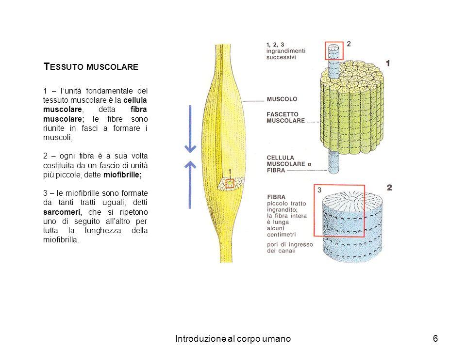 Introduzione al corpo umano6 T ESSUTO MUSCOLARE 1 – lunità fondamentale del tessuto muscolare è la cellula muscolare, detta fibra muscolare; le fibre
