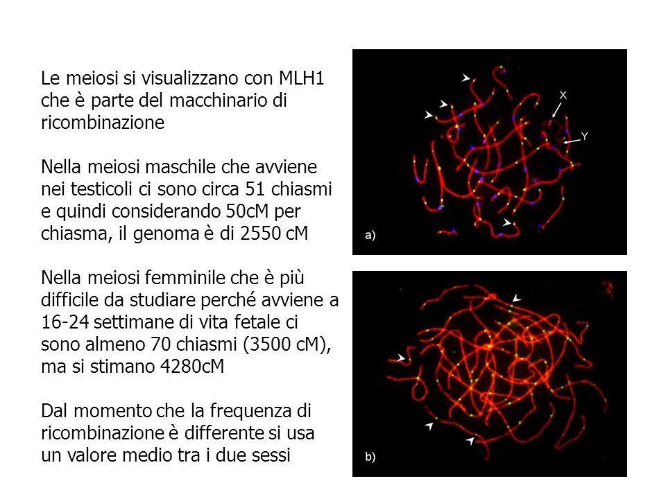 Le meiosi si visualizzano con MLH1 che è parte del macchinario di ricombinazione Nella meiosi maschile che avviene nei testicoli ci sono circa 51 chia