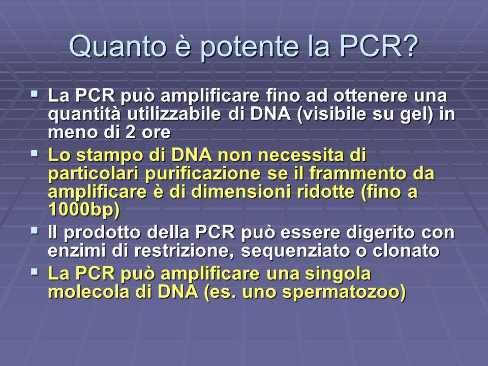 Quanto è potente la PCR? La PCR può amplificare fino ad ottenere una quantità utilizzabile di DNA (visibile su gel) in meno di 2 ore La PCR può amplif