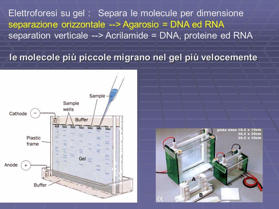 Elettroforesi su gel : Separa le molecule per dimensione separazione orizzontale --> Agarosio = DNA ed RNA separation verticale --> Acrilamide = DNA,