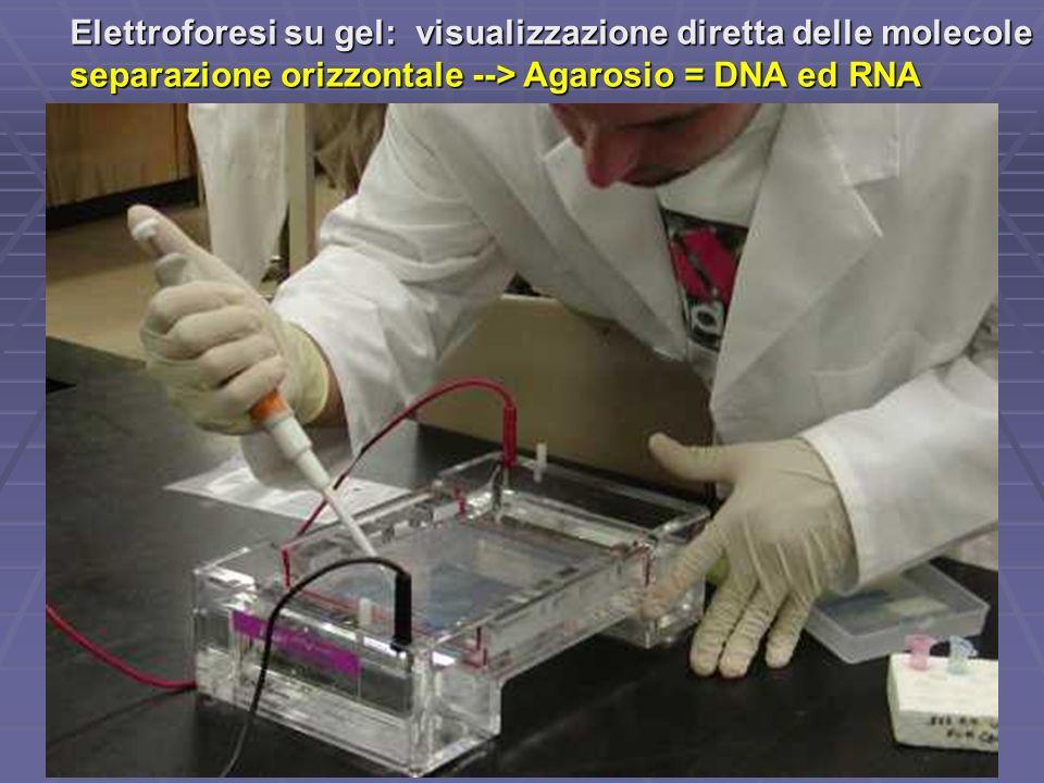 Elettroforesi su gel: visualizzazione diretta delle molecole separazione orizzontale --> Agarosio = DNA ed RNA