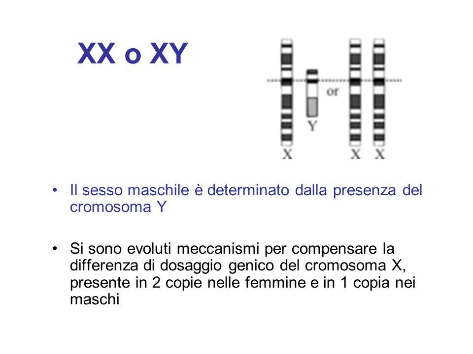XX o XY Il sesso maschile è determinato dalla presenza del cromosoma Y Si sono evoluti meccanismi per compensare la differenza di dosaggio genico del