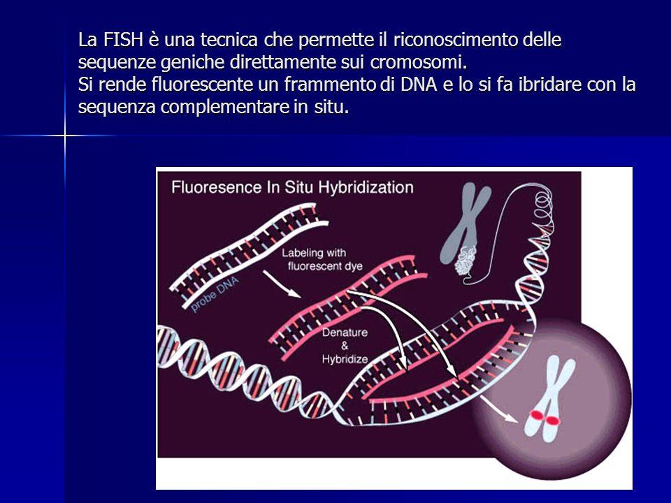 La FISH è una tecnica che permette il riconoscimento delle sequenze geniche direttamente sui cromosomi. Si rende fluorescente un frammento di DNA e lo