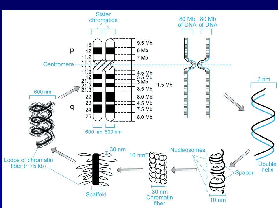 inversioniParacentrica, braccio corto Paracentrica, braccio lungo Pericentrica