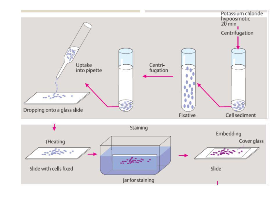 Le regioni PAR presenti sui cromosomi sessuali contengono geni che non sono inattivati, perché il doppio dosaggio è assicurato comunque PAR1 ha 24 geni, PAR2 ha solo 4 geni