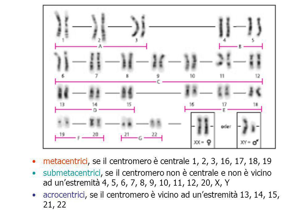 Eteromorfismi citogenetici Variazione pericentromerica del crom.