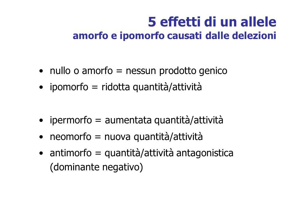 5 effetti di un allele amorfo e ipomorfo causati dalle delezioni nullo o amorfo = nessun prodotto genico ipomorfo = ridotta quantità/attività ipermorfo = aumentata quantità/attività neomorfo = nuova quantità/attività antimorfo = quantità/attività antagonistica (dominante negativo)