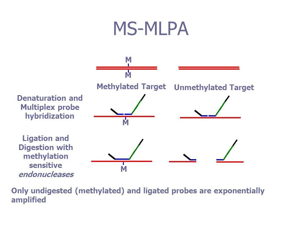 Unmethylated Target M M Methylated Target Denaturation and Multiplex probe hybridization M Only undigested (methylated) and ligated probes are exponentially amplified Ligation and Digestion with methylation sensitive endonucleases M MS-MLPA