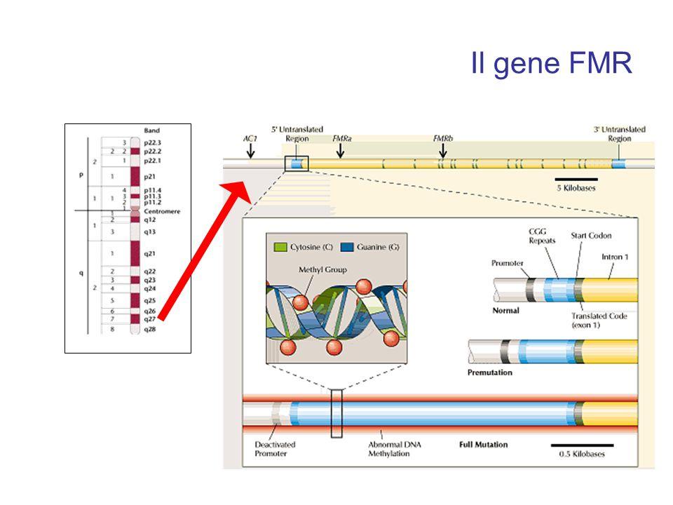 Il gene FMR