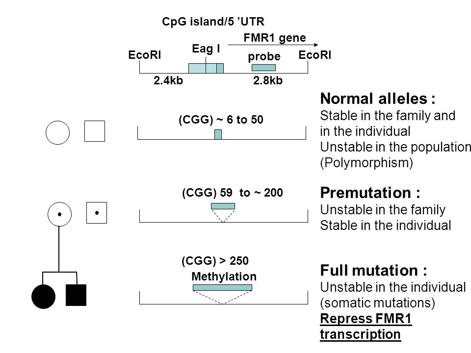 Eag I Normal alleles : Stable in the family and in the individual Unstable in the population (Polymorphism) Premutation : Unstable in the family Stabl