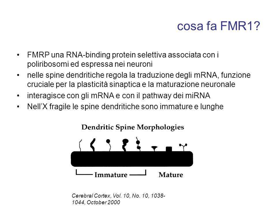 cosa fa FMR1? FMRP una RNA-binding protein selettiva associata con i poliribosomi ed espressa nei neuroni nelle spine dendritiche regola la traduzione