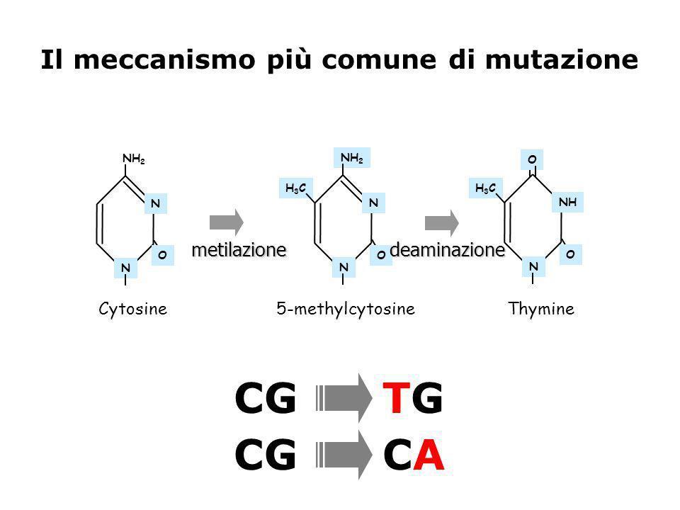 NH 2 N N N N N NH OO H3CH3CH3CH3C Cytosine 5-methylcytosineThymine metilazionedeaminazione O O CG TG CG CA Il meccanismo più comune di mutazione