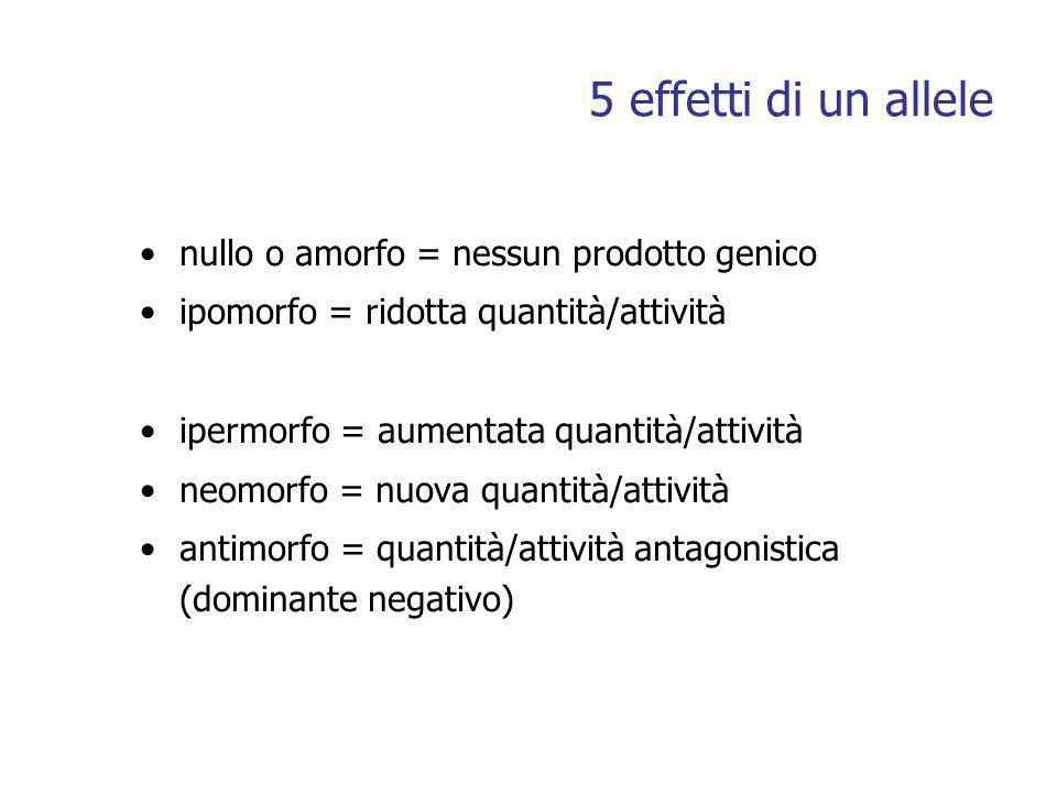 5 effetti di un allele nullo o amorfo = nessun prodotto genico ipomorfo = ridotta quantità/attività ipermorfo = aumentata quantità/attività neomorfo = nuova quantità/attività antimorfo = quantità/attività antagonistica (dominante negativo)
