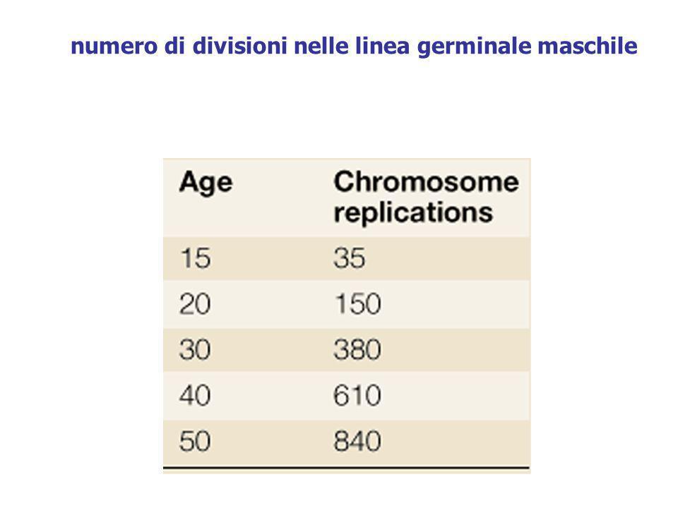 numero di divisioni nelle linea germinale maschile