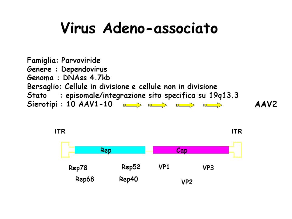 AAV2 Virus Adeno-associato Famiglia: Parvoviride Genere : Dependovirus Genoma : DNAss 4.7kb Bersaglio: Cellule in divisione e cellule non in divisione