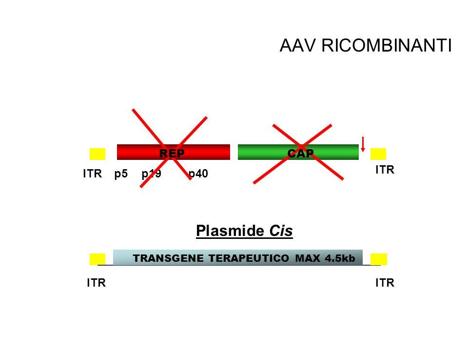 AAV RICOMBINANTI Plasmide Cis ITR TRANSGENE p5p19p40ITR REP TRANSGENE TERAPEUTICO MAX 4.5kb CAP