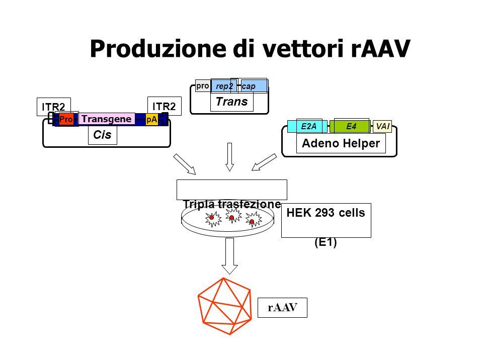 Tripla trasfezione HEK 293 cells (E1) Trans rep2 cap pro E2A E4 VAI Adeno Helper Transgene ITR2 Cis Produzione di vettori rAAV rAAV Pro pA