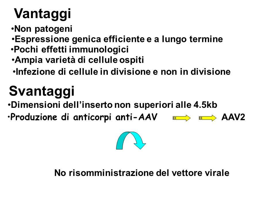 Infezione di cellule in divisione e non in divisione Vantaggi Svantaggi Produzione di anticorpi anti-AAV AAV2 No risomministrazione del vettore virale