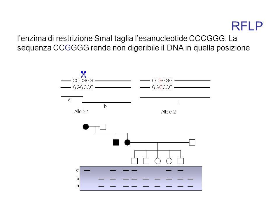 RFLP lenzima di restrizione SmaI taglia lesanucleotide CCCGGG. La sequenza CCGGGG rende non digeribile il DNA in quella posizione